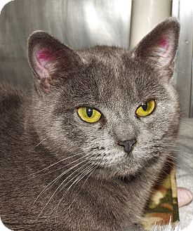 Domestic Shorthair Cat for adoption in Grants Pass, Oregon - Skittles