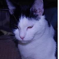 Adopt A Pet :: Shock - Holden, MO
