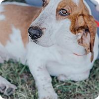 Adopt A Pet :: Lacey $250 - Seneca, SC