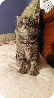 Domestic Shorthair Kitten for adoption in Hampton, Virginia - CLOVER