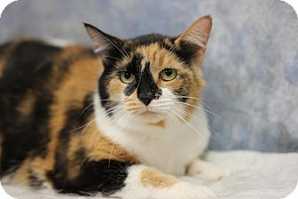 Domestic Shorthair Cat for adoption in Midland, Michigan - Scooter - NO FEE