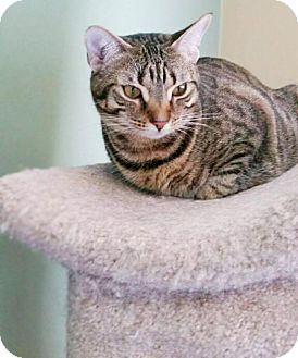 Domestic Shorthair Cat for adoption in Virginia Beach, Virginia - Sunny
