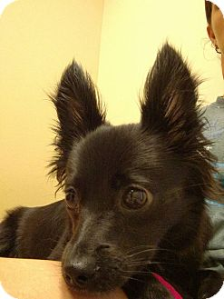 Pomeranian Mix Dog for adoption in Fort Atkinson, Wisconsin - Cha Cha