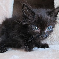 Domestic Mediumhair Kitten for adoption in San Bernardino, California - Foccacia