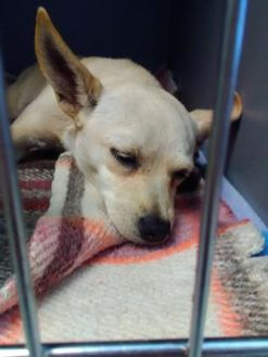 Chihuahua Mix Dog for adoption in Savannah, Tennessee - Jazz