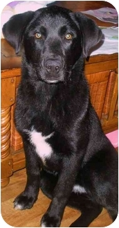 Labrador Retriever Mix Puppy for adoption in Worcester, Massachusetts - Lilly