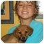 Photo 4 - Dachshund/Shiba Inu Mix Puppy for adoption in Chula Vista, California - Charlie