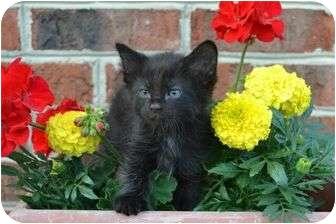 Domestic Longhair Kitten for adoption in Port Republic, Maryland - Calypso