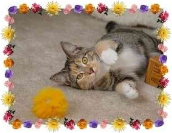 Calico Kitten for adoption in KANSAS, Missouri - Little Ruthie