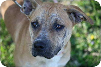 American Pit Bull Terrier/Shar Pei Mix Puppy for adoption in Anderson, Indiana - Windy