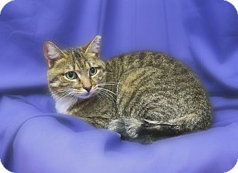 Domestic Shorthair Cat for adoption in Richmond, Virginia - Jackie