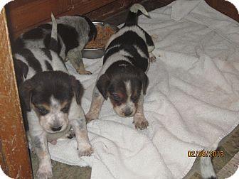 Hound (Unknown Type) Mix Puppy for adoption in Chesterfield, Virginia - Hound Puppies