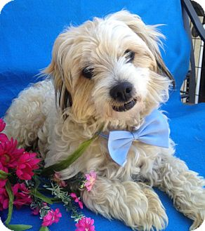 Wheaten Terrier/Poodle (Miniature) Mix Dog for adoption in Irvine, California - Patches