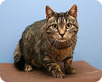 Domestic Shorthair Cat for adoption in Bellingham, Washington - Buttercup
