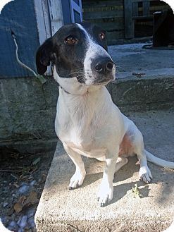Dachshund/Basset Hound Mix Dog for adoption in Manhasset, New York - Molly