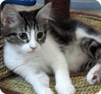Domestic Mediumhair Kitten for adoption in Seminole, Florida - Sparkle