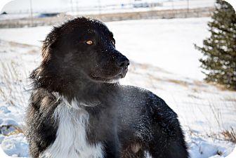 Border Collie Mix Dog for adoption in Cheyenne, Wyoming - Wolfie