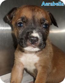 Shepherd (Unknown Type) Mix Puppy for adoption in Georgetown, South Carolina - Aerabella