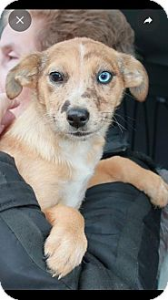 Australian Shepherd/Catahoula Leopard Dog Mix Puppy for adoption in Barnegat, New Jersey - Candy Cane