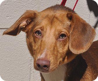 Dachshund Mix Dog for adoption in Atlanta, Georgia - Pumpkin