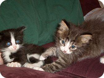 Maine Coon Kitten for adoption in Lenexa, Kansas - Ala and Kazam