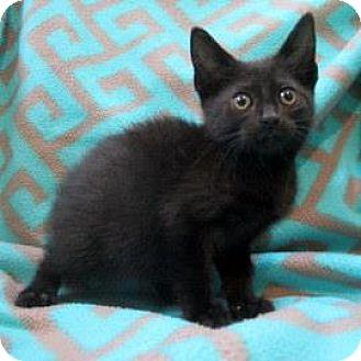 Domestic Shorthair Kitten for adoption in Janesville, Wisconsin - Kelsey