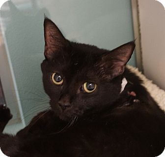 Domestic Shorthair Cat for adoption in Farmington, New Mexico - Seba