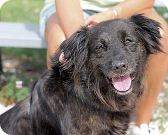Border Collie/Labrador Retriever Mix Dog for adoption in Manahawkin, New Jersey - Jo Jo