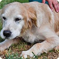 Adopt A Pet :: Savannah - New Canaan, CT