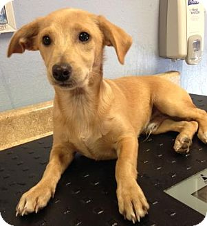Chihuahua/Miniature Pinscher Mix Puppy for adoption in The Dalles, Oregon - Tank