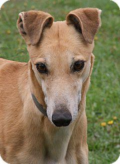 Greyhound Dog for adoption in Portland, Oregon - Chipper