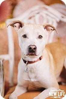 Labrador Retriever/Greyhound Mix Dog for adoption in Portland, Oregon - Baker