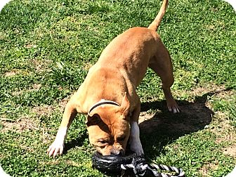 Boxer/American Bulldog Mix Dog for adoption in Wartrace, Tennessee - Bruce