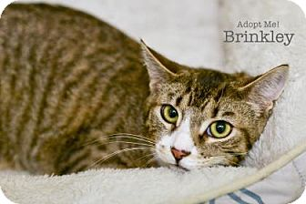 Domestic Shorthair Cat for adoption in West Des Moines, Iowa - Brinkley
