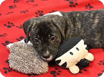 Boxer/Jack Russell Terrier Mix Puppy for adoption in Winters, California - Dino