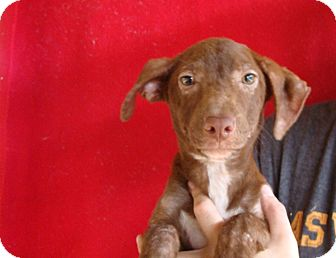 Corgi/Dachshund Mix Puppy for adoption in Oviedo, Florida - Coco