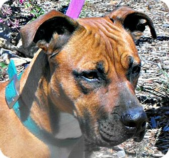 Boxer/Rhodesian Ridgeback Mix Dog for adoption in Yreka, California - Laney
