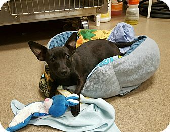 Miniature Pinscher/Chihuahua Mix Puppy for adoption in beverly hills, California - Dean Martin