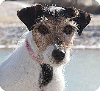 Jack Russell Terrier Dog for adoption in Staunton, Virginia - Nancy
