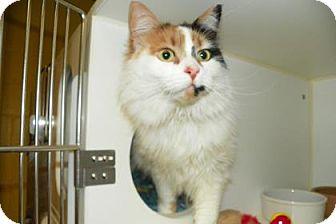 Domestic Longhair Cat for adoption in Lowell, Massachusetts - Bella