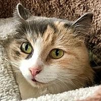 Domestic Mediumhair Cat for adoption in Santa Fe, New Mexico - Hita 2