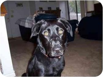 Labrador Retriever Mix Dog for adoption in Evergreen, Colorado - Lea