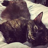 Adopt A Pet :: Averna - St. Louis, MO