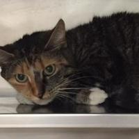 Domestic Shorthair/Domestic Shorthair Mix Cat for adoption in Hudson, New York - Princess Pumpernickle