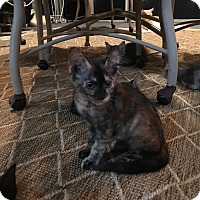 Domestic Shorthair Kitten for adoption in Cleveland, Tennessee - Caramel