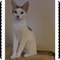 Calico Cat for adoption in McHenry, Illinois - Brittany