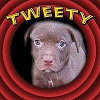 Adopt A Pet :: Tweety (Looney Toons) - Wyoming, MI
