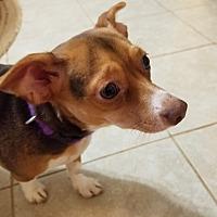 Adopt A Pet :: Meena - Springfield, MO