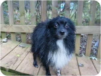 Pomeranian/Chihuahua Mix Dog for adoption in Eden, North Carolina - Prancer