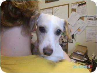 Dachshund/Fox Terrier (Wirehaired) Mix Dog for adoption in Tipton, Iowa - Yellow
